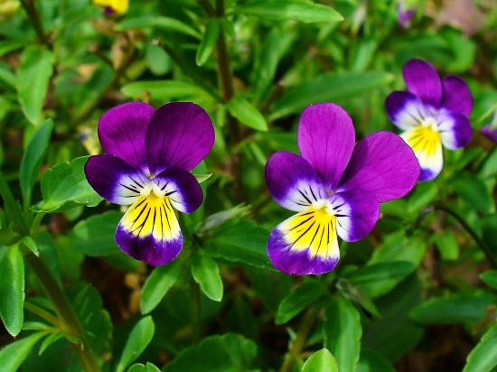 Viola three-coloured