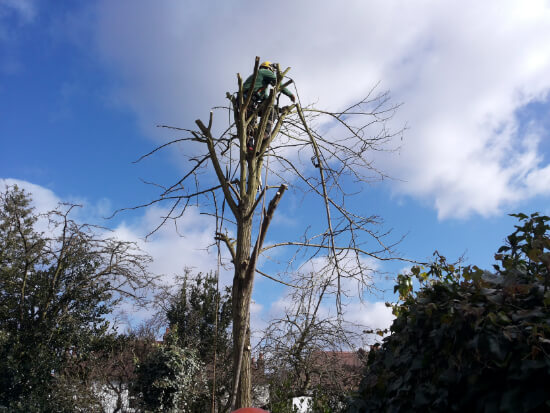 Tree surgery - crown shaping service 2015