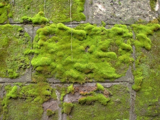 how long does it take for moss to grow on a wall
