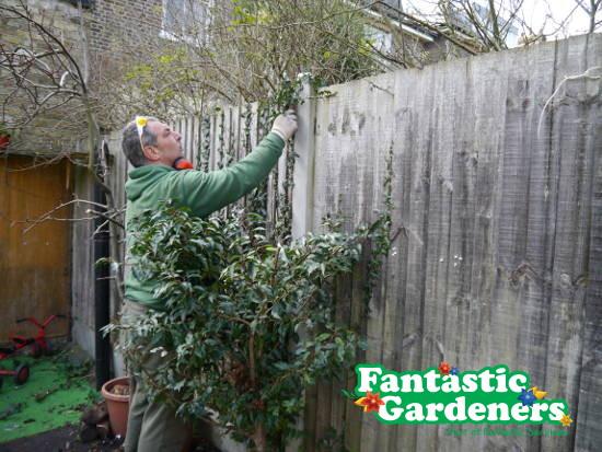 gardener removes ivy