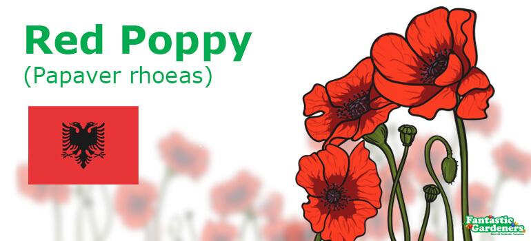 national flower of Albania