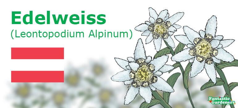 national flower of Austria