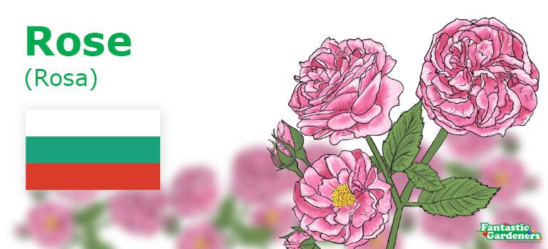 Bulgarian national flower