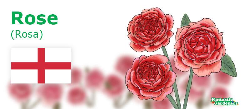 national flower of England