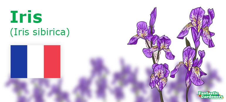 national flower of France