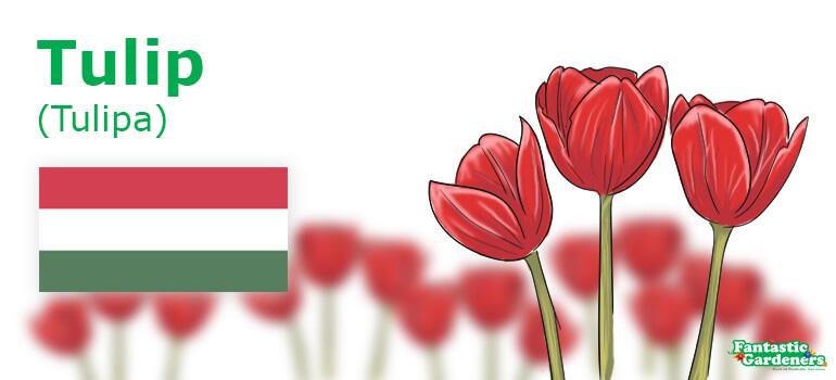 Hungary's national flower