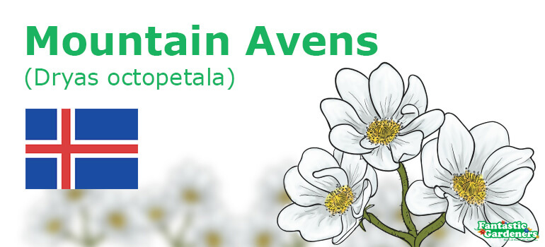 Iceland's floral emblem