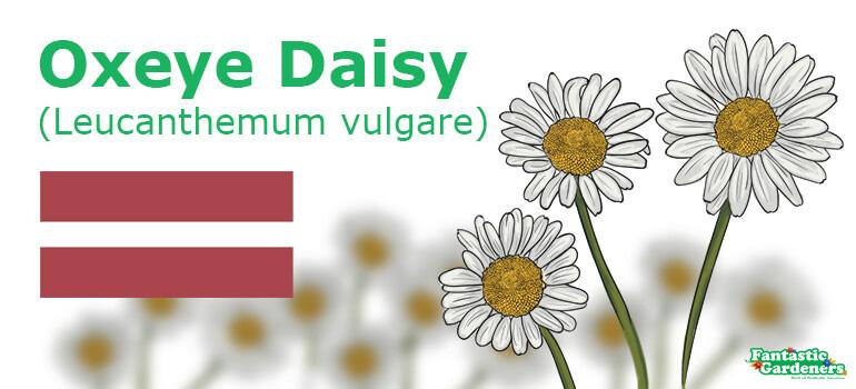 national flower of Latvia