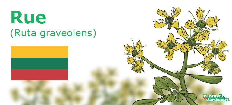 national flower emblem of Lithuania