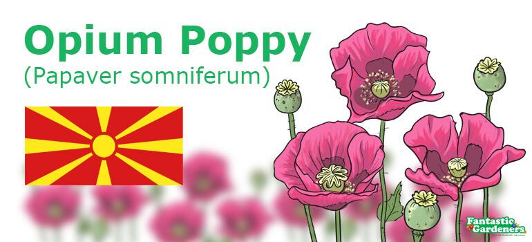 Macedonia national flower