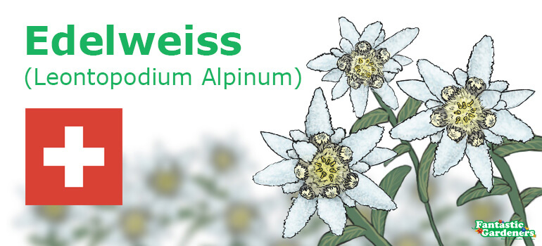 floral emblem of Switzerland