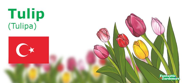 national flower of Turkey