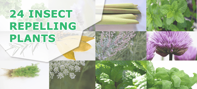 24-INSECT-REPELLING-PLANTS