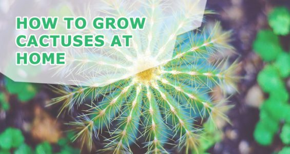 how to grow cactuses at home