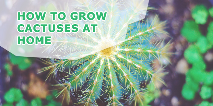 how-to-grow-cactuses-at-home
