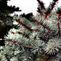 Feel the Holiday Spirit with Real Christmas Tree by Fantastic Gardeners
