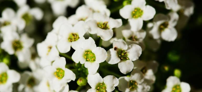 sweet-alyssum