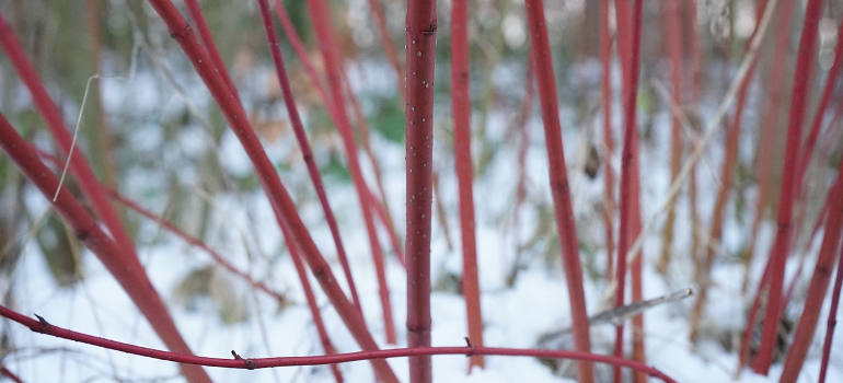 red-dogwood