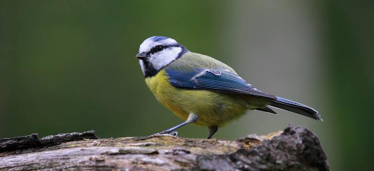 blue-tit