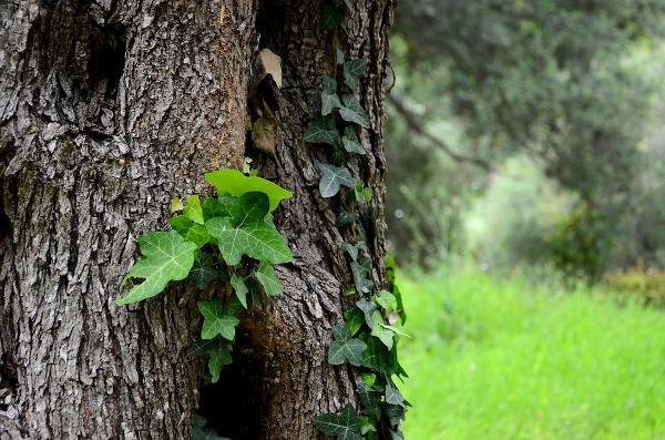 Ivy the Survivor