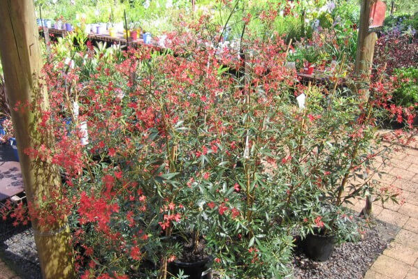 chrismas bush