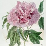 Join a Celebration of Botanical Illustration and Art at the RHS London Botanical Art Show 2016