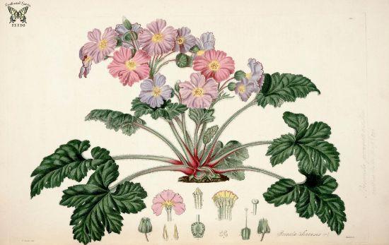botanical drawing