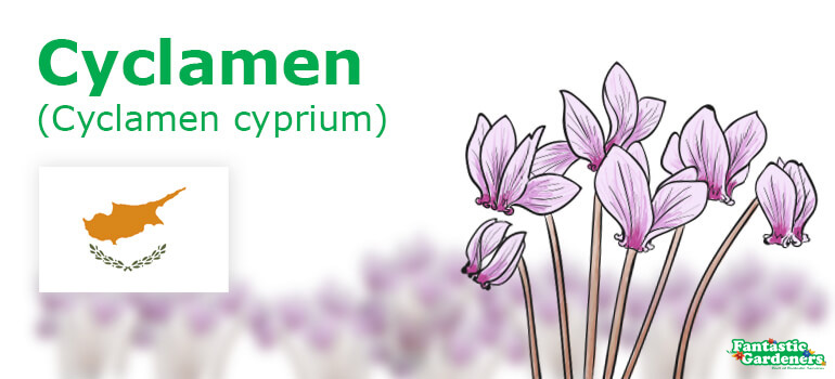National flower of Cyprus