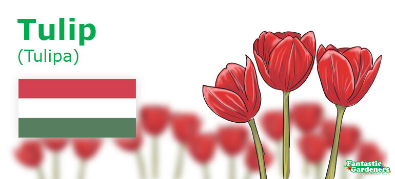 Hungary's national flower