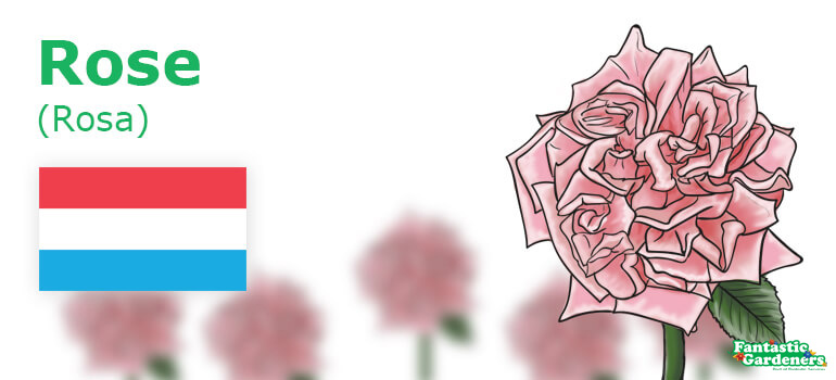 Luxemburg's national flower