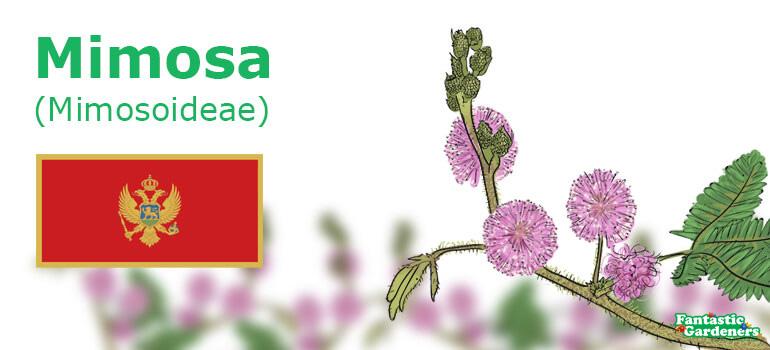 Montenegro's national flower