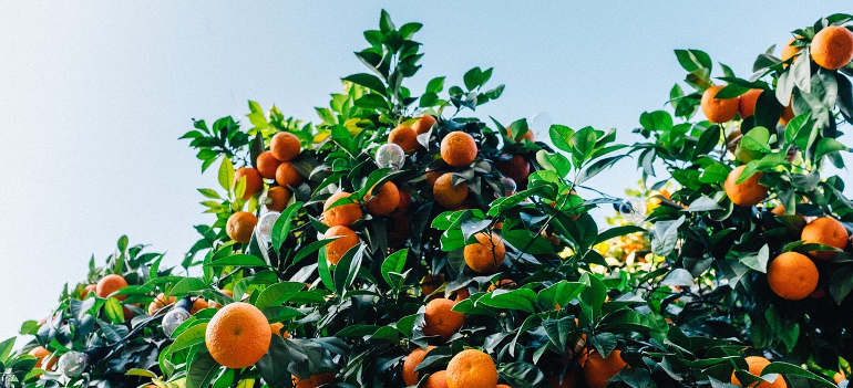 how-to-grow-your-own-citrus-tree