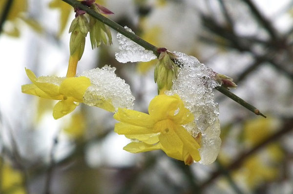jasmin winter flower