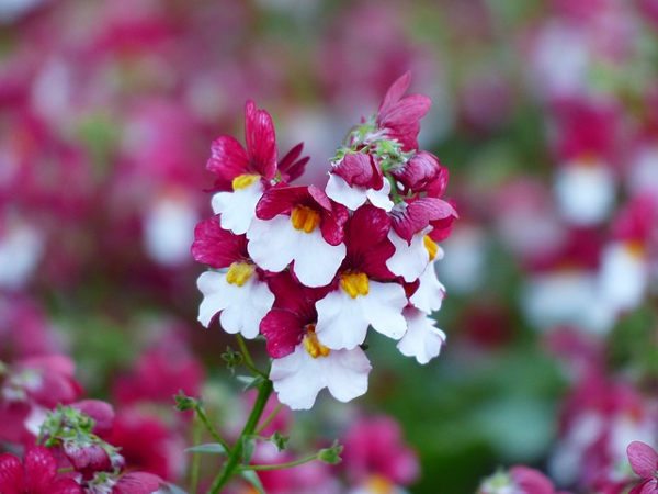 nemesia winter flower