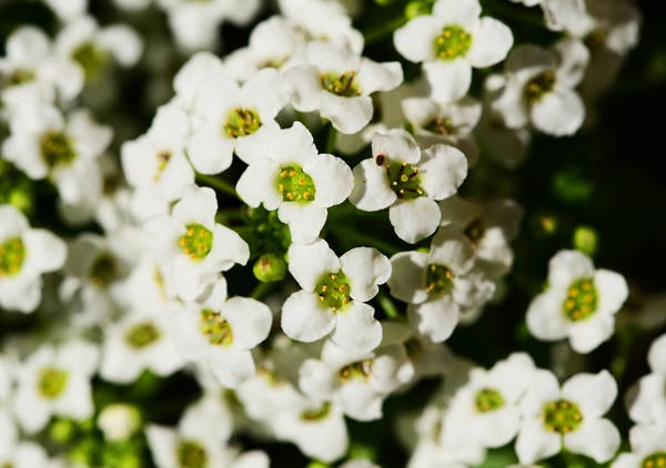 sweet alyssum winter flower