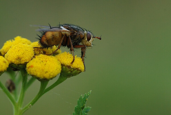 Tachinid flies