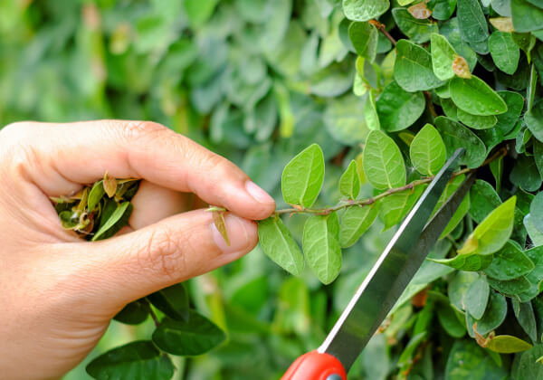 pruning shrubs and trees