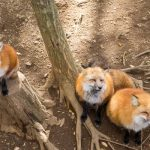 Foxes in Garden - What You Need to Know