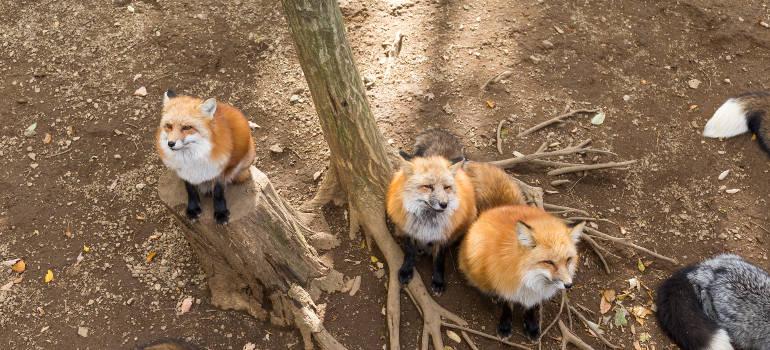 garden foxes