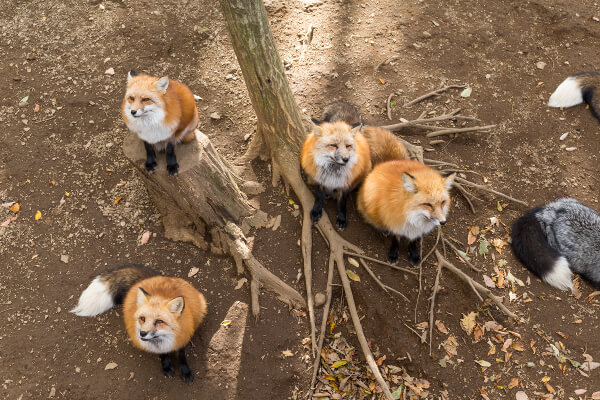 Foxes in Garden - What You Need to Know - Fantastic