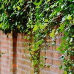 Out of Control: How to Get Rid of Ivy (For Good)