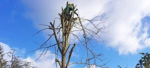 tree-surgery-1-crown-shaping-pruning