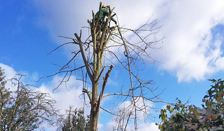 tree-surgery-crown-shaping-pruning