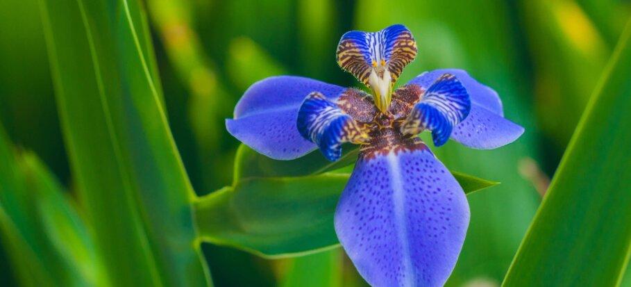 iris-tropical plant